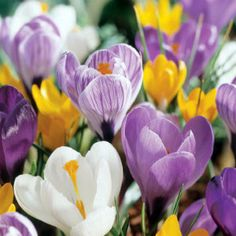Growing Crocus in the home garden is easy if you know when to plant it. The Crocus bulbs should be in the ground before the first frost.