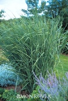Lovely bluish foliage adorns this open airy perennial grass that never needs staking. Makes a stunning accent or border. Slender flower clus...