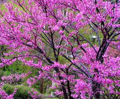Redbud Tree at Denver Botanical Gardens - Colorado
