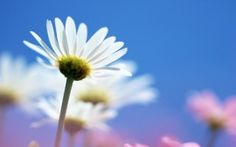 WALLPAPERS HD: Bright White Flower