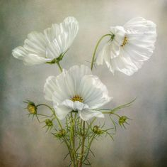 Shop for Cosmos Charm' Floral Wrapped Canvas Wall Art. Get free delivery On EVERYTHING* Overstock - Your Online Art Gallery Store! Fotografia Floral, Fotografia Macro, Arte Floral, Floral Wall, White Flowers, Beautiful Flowers, Poppy Flowers, Exotic Flowers, Yellow Roses