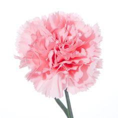 A beautiful pink carnation