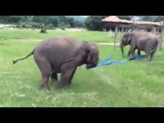 This video shows Faa Mai enjoying playing with a hula hoop naturally. For more information Contact: Save Elephant Foundation1 Ratmakka Rd.T. Phrasing, A. Mua...
