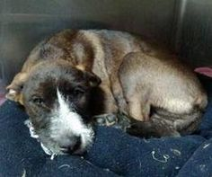 URGENT- BROOKLYN IS AN ADORABLE 4 -5MTHS 23 POUND TERRIER MIX- HE IS IN A PACKED RURAL GASSING SHELTER IN WEST VIRGINIA. CONTACT ME TO LEARN MORE ABOUT ALL THE DOGS/ PUPPES AND THE ADOPTION PROCESS. THESE HIGHLY ADOPTABLE DOGS DEPEND ON OUT OF STATE...