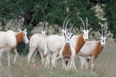"""Scimitar-horned Oryx on November 04, 2014 by greglasley. From iNaturalist.org: """"Many large ranches in Texas have exotic animals that are raised for hunting and in some cases returned to the wild. These are scimitar-horned oryx (Oryx dammah) which I understand are extinct in the wild in Africa. There are stable populations of these animals on large ranches in Texas."""""""
