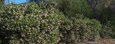 A hedge of Arctostaphylos Austin Griffin will grow to about 10 ft. tall and 12 ft. wide. - grid24_12