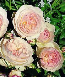 rose sebastian kneipp frisk rose and flowers. Black Bedroom Furniture Sets. Home Design Ideas