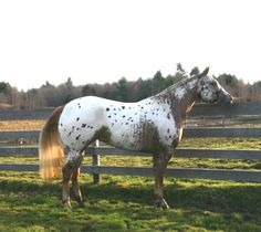 MS DREAM DESIGNER | Rockin Spots Appaloosas Look at the almost rabicano like markings on his side!