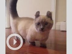 Meet Yoda the Munchkin Cat   ...........click here to find out more     http://googydog.com