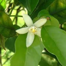 Neroli...Orange Blossom Essential Oil  Orange blossom essential oil is another name for Neroli essential oil. It is one of the most expensive essential oils available on the market today. Orange blossom oil is also known as the Orange Flower Oil.