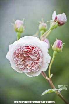 A perfect pink rose  xo--FleaingFrance Brocante Society