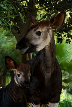 Okapi by Official San Diego Zoo, via Flickr