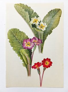 Primula acaulis Picture. Primrose Vintage by PeonyandThistlePaper