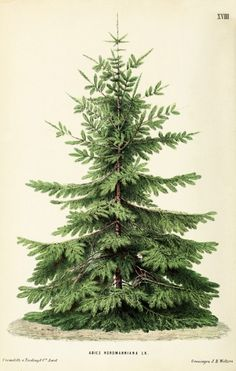Neerlands Plantentuin, Nordmann fir, volume 1, 1865-67. Netherlands. Via Biodiversity Heritage Library