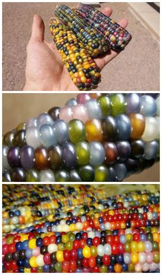 Glass Gem Corn (Also Called Rainbow Corn) - 1001 Gardens Fruit And Veg, Fruits And Vegetables, Rainbow Corn, Glass Gem Corn, Popcorn Seeds, Comida Latina, Exotic Fruit, Food Hacks, Food Tips