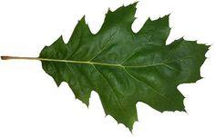 Quercus rubra leaf -Red Oak