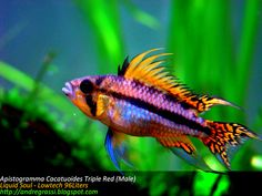 Types of Apistogrammas Tropical Freshwater Fish, Freshwater Aquarium Fish, Beautiful Tropical Fish, Beautiful Fish, Aquascaping, Cichlid Fish, Discus, Cool Fish, Underwater Creatures