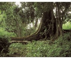 Kakpin jungle Heritage Center, Ivory Coast, Ivoire, West Africa, Ghana, National Parks, World, Places, Nature