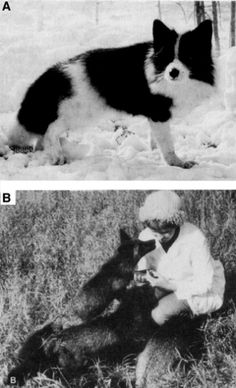 Two black and white photographs arranged vertically show tame silver foxes in Belyaev's domestication experiments. Photograph A at the top shows a single fox standing in snow and looking at the camera. The fox's coat is black with white patches on its legs, belly, chest, neck, nose, and tail. It also has a thin white stripe that extends from the tip of its nose to the back of its head. Photograph B shows three black foxes interacting with a woman. The woman is kneeling in a field with long…