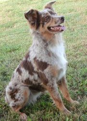 This is the website to a breeder in TX that breeds and sales mini aussie dogs! too cute