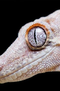 Gecko photo by Ian Schofield Les Reptiles, Reptiles And Amphibians, Mammals, Nature Animals, Animals And Pets, Cute Animals, Beautiful Creatures, Animals Beautiful, Reptile Eye