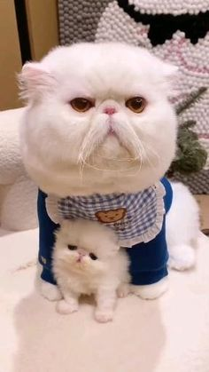 Cute Little Animals, Cute Funny Animals, Cute Cats, Funny Cats, Kittens And Puppies, Baby Kittens, Kittens Cutest, Funny Animal Videos, Funny Animal Pictures