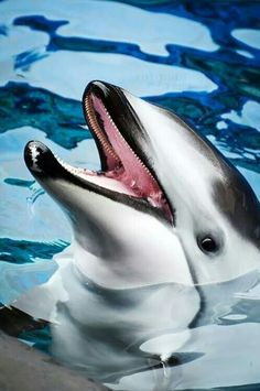 Pacific white-sided dolphin. Lagenorhynchus obliquidens
