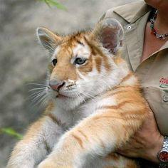 Golden Tabby tiger cub