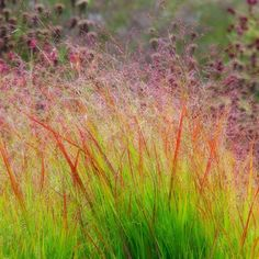 For fabulous autumn colour, this is tough grass is hard to beat. It's superb for a shot of vertical interest in a bright spot, and combined with a wide array of perennials. The upright mid-green foliage turns a rich reddish-purple in autumn, for whic