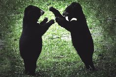 After a 2,500-Mile Trek, Four Bears Leave Their Zoo Days Behind