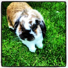 #rabbit #pet #lop-eared