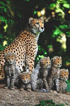 Cheetah (Acinonyx jubatus) Family. Cheetahs can have up to nine (9??? . . . NINE!!) cubs in one litter.