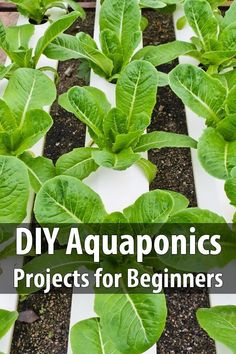"DIY Aquaponics Projects For Beginners. The author writes, ""#Aquaponics are excellent for #growingfood for your #homestead, or just as a #backyard #project for the family. If that term is not familiar to you, stick around, you're about to get a crash course and walk away with enough knowledge to build your own #aquaponicssystem."" #Urbansurvivalsite #Gardening"