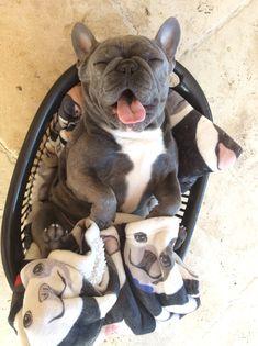 French Bulldog ❤️