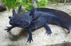 Our black range of Axolotl Water Animals, Baby Animals, Funny Animals, Les Reptiles, Reptiles And Amphibians, Axolotl Pet, Axolotl Care, Reptile Room, Underwater Creatures