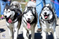 Happy, Squinty-Eyed, Smiling Siberian Huskies