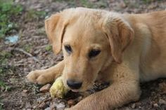 Lilah is an adoptable Yellow Labrador Retriever Dog in Willington, CT. Meet Lilah! Lilah is around 16 weeks old and is a yellow lab. Lilah has a great puppy personality. She can't wait to find a lovin...