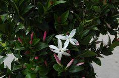 Jasminum glaucum