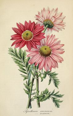 Painted Daisy. Chrysanthemum coccineum. Bushy 2-3 foot tall perennials are covered with 2-3 inch yellow-eyed daisies in late spring and early summer. Deutsches Magazin für Garten- und Blumenkunde; Stuggart, G. Weise. (1854) | From the botanical illustration collection of Swallowtail Garden Seeds. This image is in the public domain. Right click to download. Use as you choose.