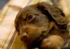 Sweet Dachshund Puppy  #doxie #cute