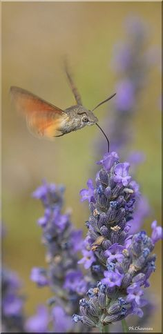hummingbird moth and lavender, France