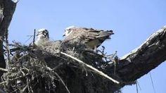 Ospreys Making a Nest - March 9, 2015