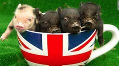 Sí, ahora los cerdos miniatura tendrán su propia cafetería http://cnn.it/1EEMAe0