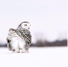 cute little owl booty Love Birds, Beautiful Birds, Animals Beautiful, Cute Animals, Humorous Animals, Owl Bird, Pet Birds, Art Beauté, Owl Pictures