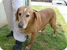 """#GEORGIA #URGENT ~ Lucy ID 13D-0745 (4/4) is a 7y/o #adoptable female Basset Hound mix in #Rome. O.Surr No Reason. Available for #adoption on 4/4 & #rescue on 4/5 ~ Act quickly to adopt 13D-0745 (4/4). Pets at this shelter may be held for only a short time. FLOYD COUNTY ANIMAL CONTROL 431 Mathis Road SE #Rome GA 30161 Ph 706-236-4537 broomej@floydcountyga.org   Let 'em know you saw """"13D-0745 (4/4)"""" on Adopt-a-Pet.com!"""