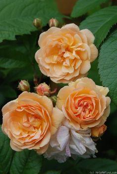Ghislaine de Féligonde ~ Rambling / Climbing Rose