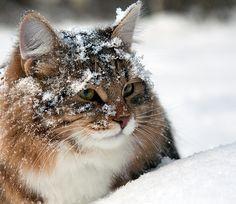 Яника — «ждем деда мороза» на Яндекс.Фотках #winter #cat