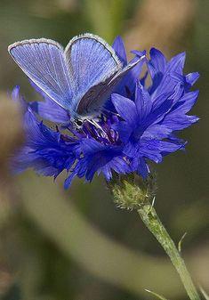 Blue butterfly on cornflower Butterfly Kisses, Butterfly Flowers, Blue Butterfly, Blue Flowers, Madame Butterfly, Beautiful Bugs, Beautiful Butterflies, Beautiful Flowers, Moth Caterpillar