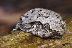 Gray Tree Frog by Jim Salge