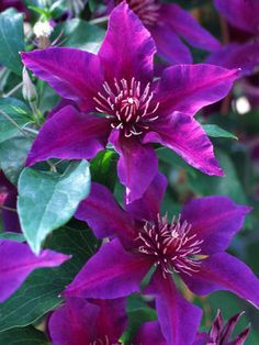 Clematis Fleuri Vine Type: Shrubs,Vines,Perennials Height: Tall () Bloom Time: Late Spring to Late Summer Sun-Shade: Fu. Amazing Flowers, Purple Flowers, Beautiful Flowers, Arrangements Ikebana, Clematis Vine, Purple Clematis, Evergreen Clematis, Clematis Plants, Autumn Clematis